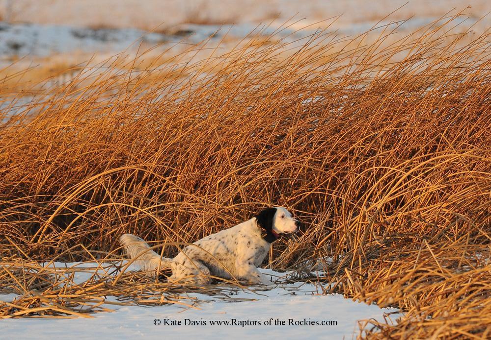 Golden Retriever Photos - Rio the English Setter - Elk Photos - Rio the English Setter on point, hunt 'em up