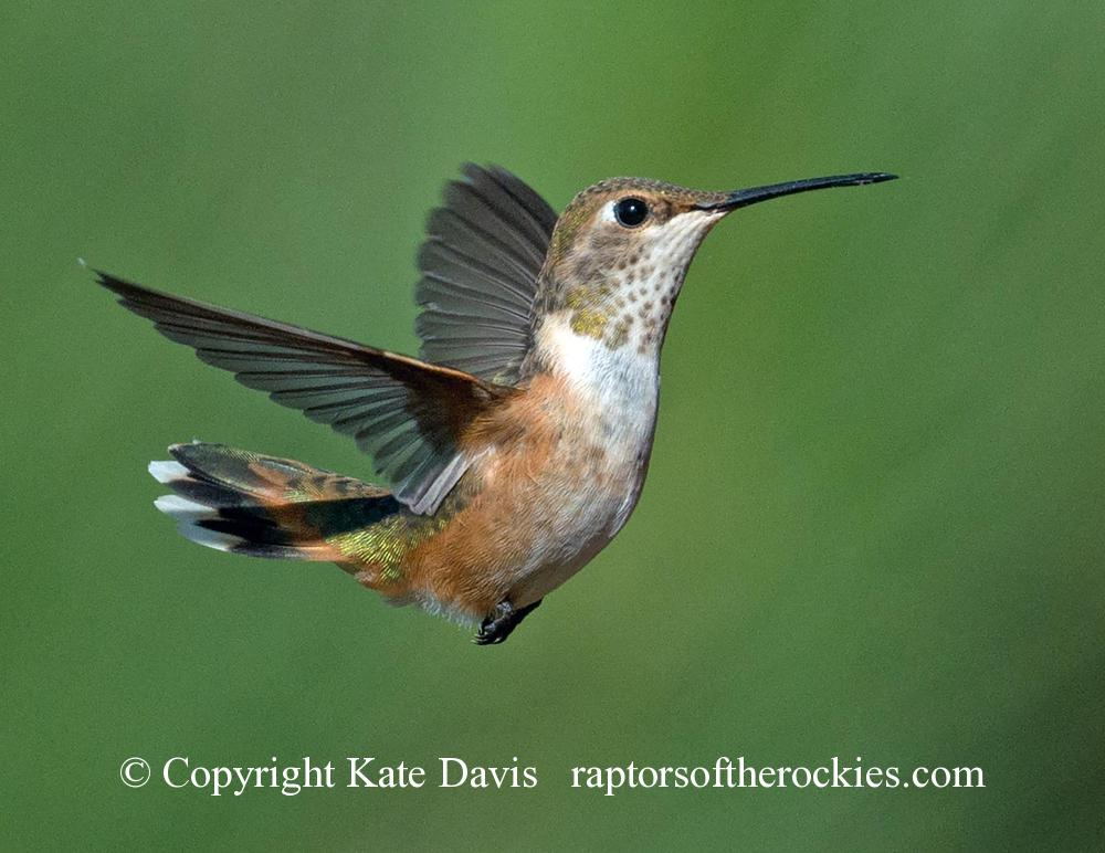 Song Bird Photos - Rufous Hummingbird Hover - Shore Bird Photos - Rufous Hummingbird Hover - Rufous hummer near one of the feeders of the summer