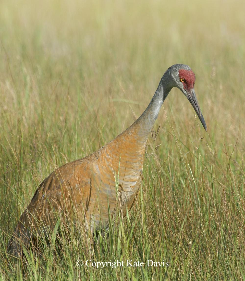 Song Bird Photos - Sandhill Crane - Shore Bird Photos - Sandhill Crane concentrates on something in the grass, Lee Metcalf National Wildlife Refuge near-by