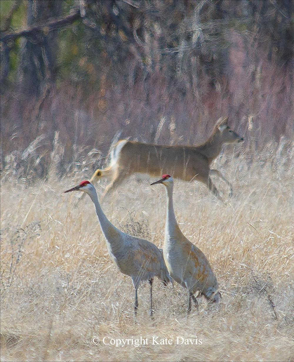 Song Bird Photos - Sandhill Cranes - Shore Bird Photos - Sandhill Cranes/White-tail Deer at Lee Metcalf refuge in the summer