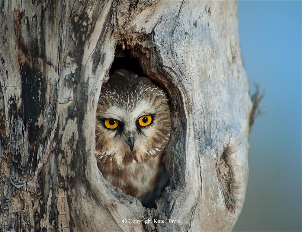 Kate Davis Owl Photographs  - Saw-whet Owl - Owl Photography - Saw-whet Owl, cavity nesters and a set-up shot I must admit