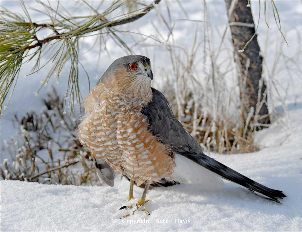 photographs of birds of prey - Sharp-shinned Hawk - Rough-legged Hawk - Our Sharp-shinned Hawk, Margo