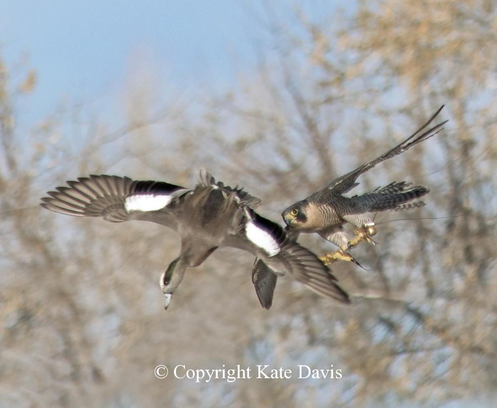 "Peregrine Falcon - Sib and Widgeon - American Kestrel - Our falcon Sibley the Peregrine missed this widgeon that ""ducked"" at the last second"