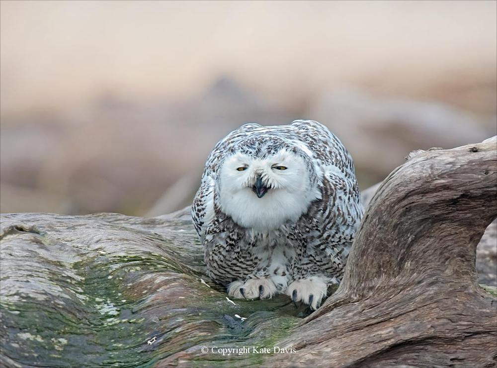 "Kate Davis Owl Photographs  - Sipping Snowy Owl - Owl Photography - Snowy Owl takes a drink from what is properly termed a ""root wad""and not driftwood (I was corrected)"