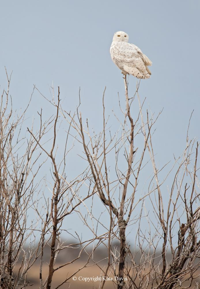 Kate Davis Owl Photographs  - Snowy Owl Tree Top - Owl Photography - Posing on some twigs in a bush