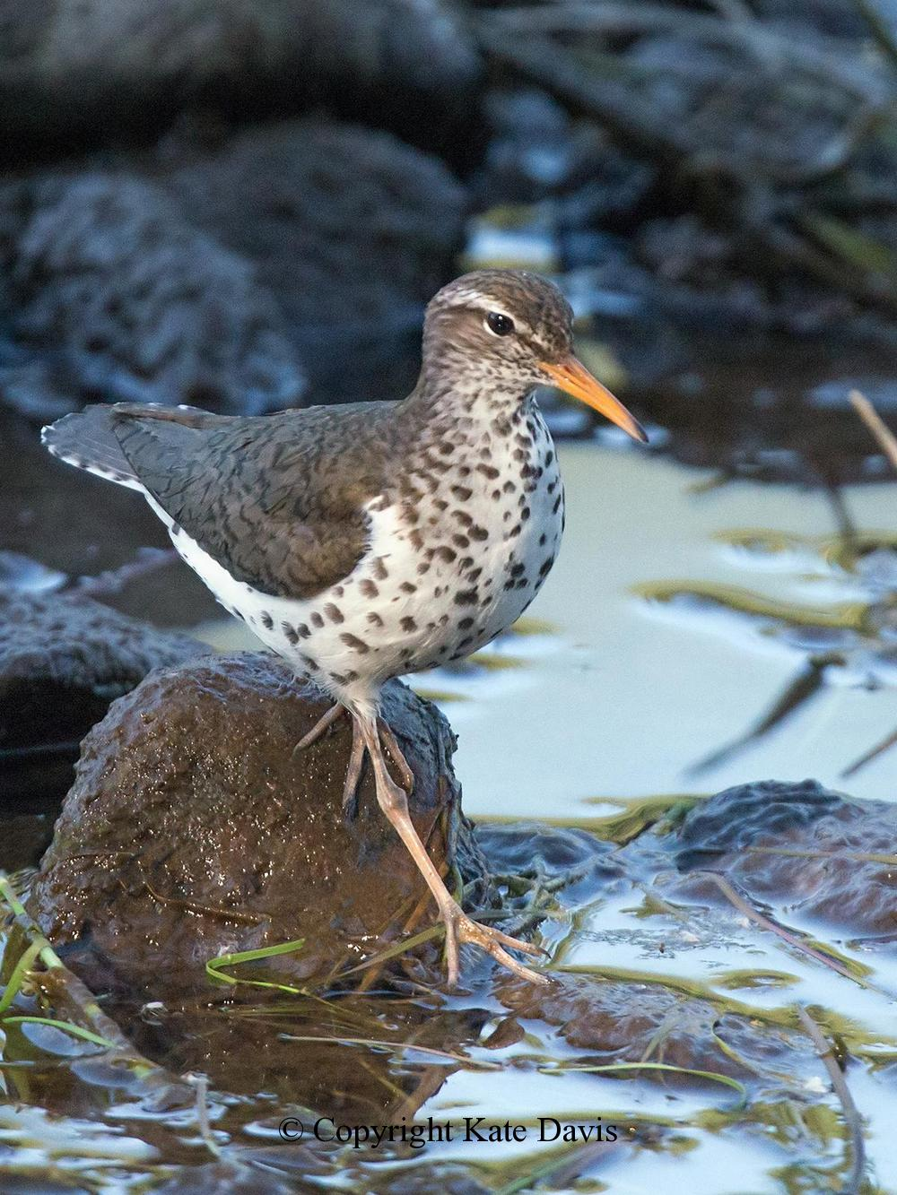 Song Bird Photos - Spotted Sandpiper in the Shallows - Shore Bird Photos - Spotted Sandpiper in the Shallows - A favorite Sandpiper photo