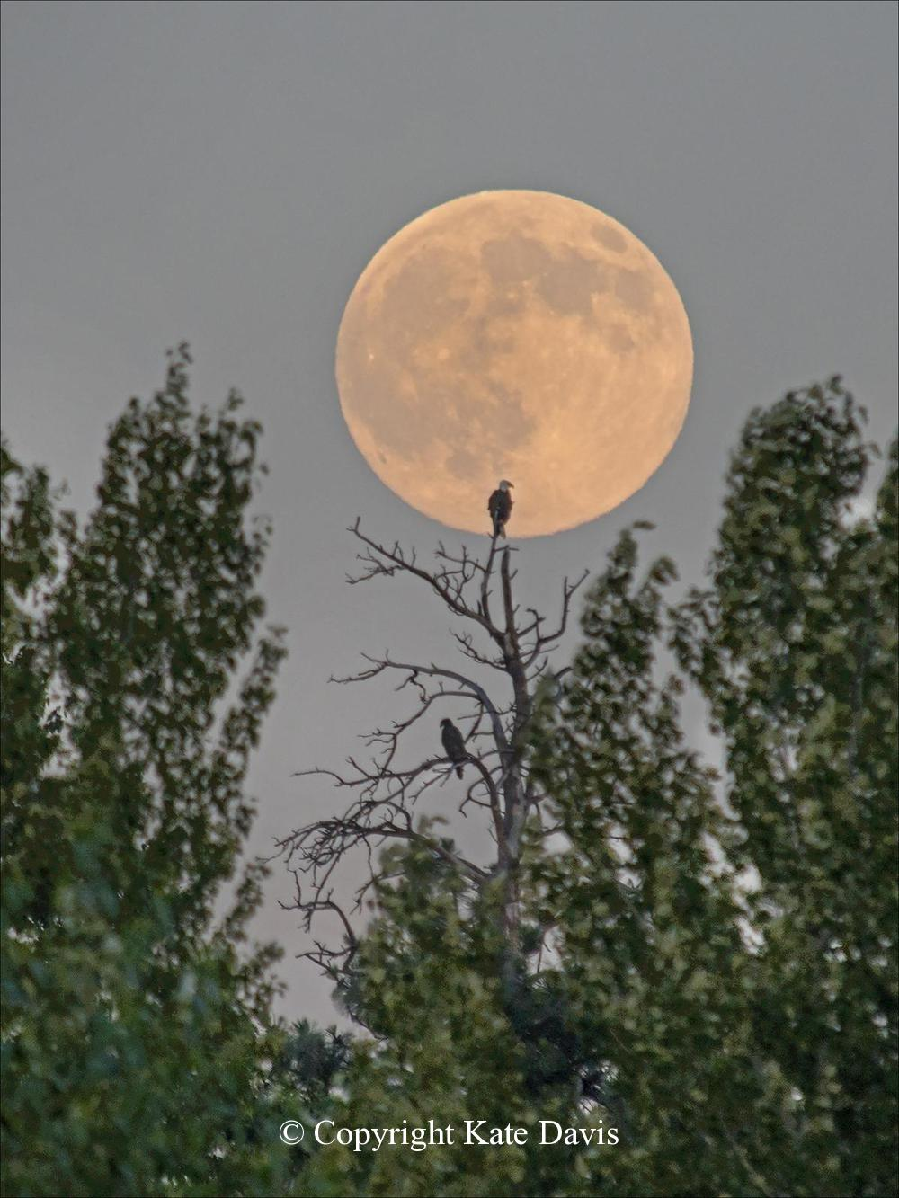 American Bald Eagle - The Supermoon 2014 - Golden Eagle - Bald Eagle adult, chick, nest and the Supermoon  of 2014
