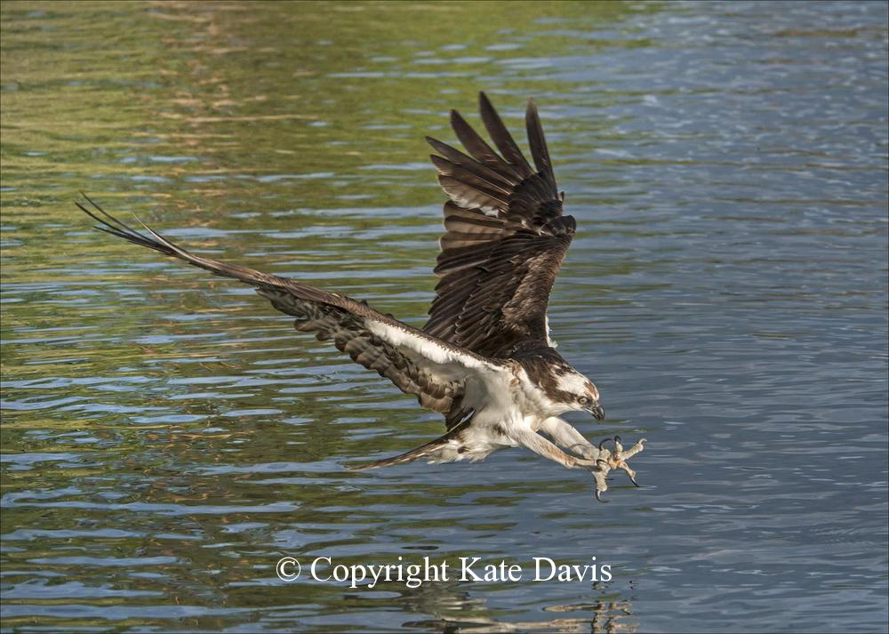 photographs of birds of prey - Wildhorse Island Osprey - Rough-legged Hawk - Wildhorse Island Osprey taken from my friend Barry's boat