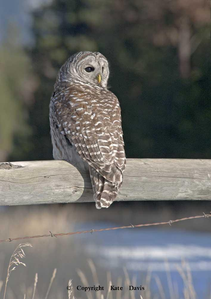 Kate Davis Owl Photographs  - Winter Barred Owl - Owl Photography - Barred Owl that found hung up in a barbed wire fence, rehabbed and released