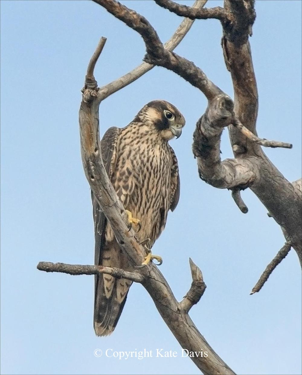 Peregrine Falcon - Young Peregrine in August - American Kestrel - Calmly surveying the river by the house
