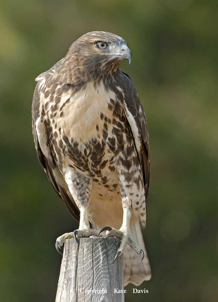photographs of birds of prey - Young Red-tailed Hawk - Rough-legged Hawk - Young Red-tailed Hawk on our fence by the pigeons