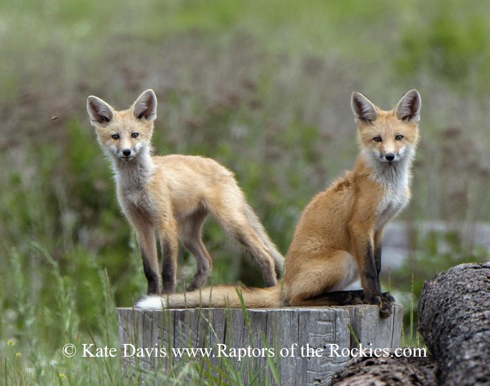 "Golden Retriever Photos - Young Red Foxes - Elk Photos - Young Red Foxes on a big woodpile, curious and not too spooky despite Rolling Stones ""Exile On Mainstreet"" blaring from the car"