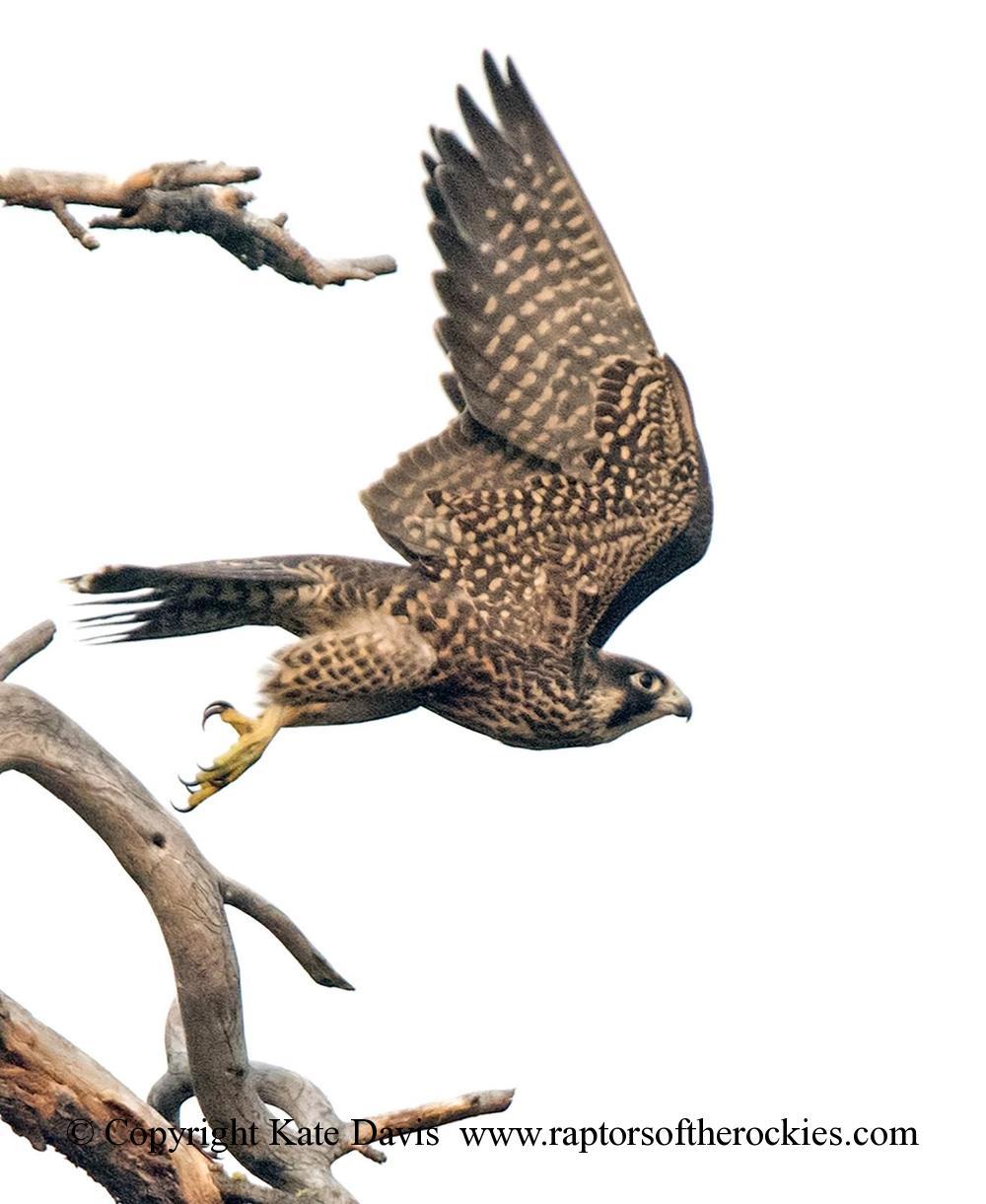 Peregrine Falcon - Youngster Peregrine - American Kestrel - A fledgling falcon at the river, cool