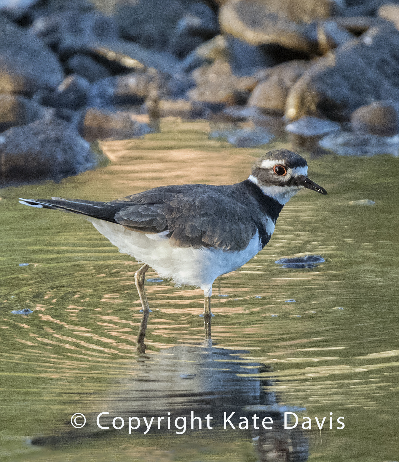 Killdeer In the Shallows